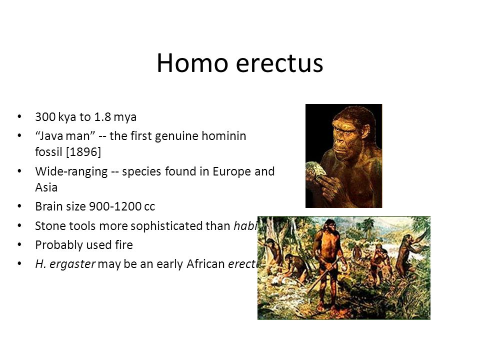 Homo erectus 300 kya to 1.8 mya. Java man -- the first genuine hominin fossil [1896] Wide-ranging -- species found in Europe and Asia.